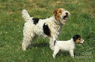 Wire-haired Fox Terrier Poster by Gerard Lacz