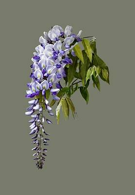Wisteria And Leaves Poster by Susan Savad