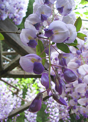 Wisteria In The Garden 2 Poster