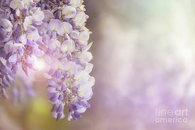 Wisteria Flowers In Sunlight Poster by Jane Rix