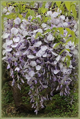 Wisteria In Full Bloom Poster