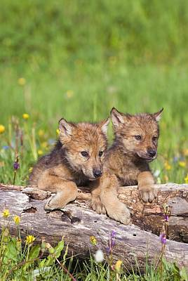 Wolf Cubs On Log Poster by John Pitcher