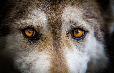 Poster featuring the photograph Wolf Eyes by Teri Virbickis