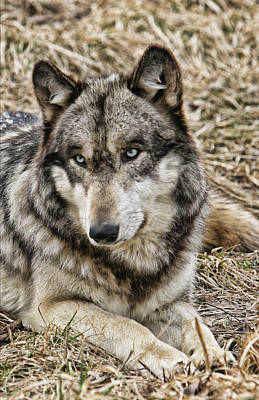 Poster featuring the photograph Wolf Portrait by Shari Jardina