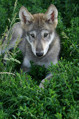 Poster featuring the photograph Wolf Pup Portrait by Shari Jardina