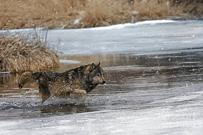 Wolf River Crossing Poster by Wildlife Fine Art