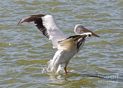 Wonderful White Pelican Wings Poster