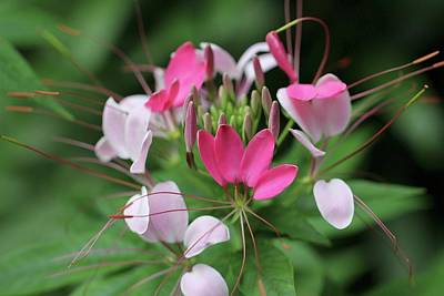 Poster featuring the photograph Wonders Of Cleome by Deborah  Crew-Johnson