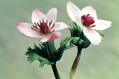 Wood Anemone Poster by American School