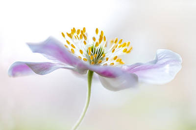 Wood Anemone Poster by Mandy Disher