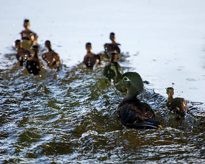 Wood Duck And Ducklings Poster