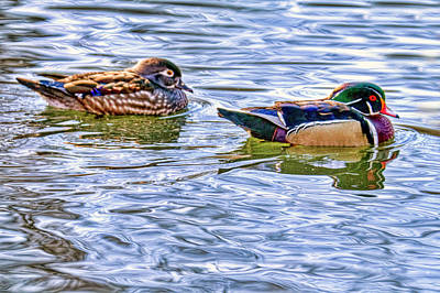 Wood Duck And One Of His Sister Wives Poster by Geraldine Scull