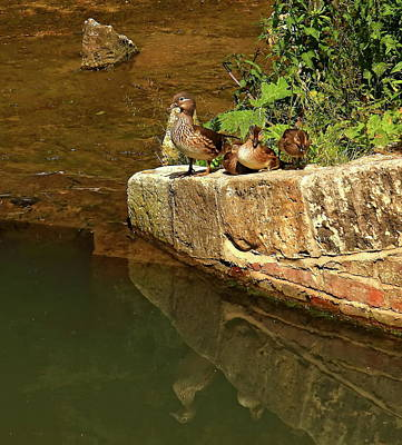 Wood Duck And Young Poster