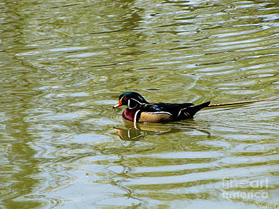 Wood Duck Poster by September  Stone