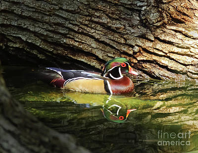 Wood Duck In Wood Poster