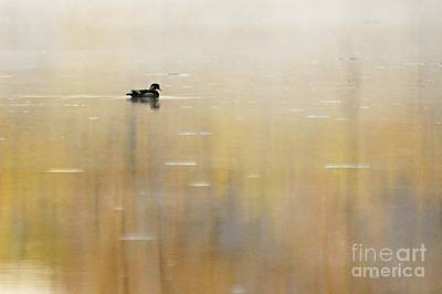 Wood Duck On Golden Pond Poster by Larry Ricker
