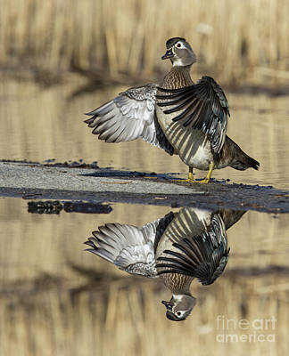 Poster featuring the photograph Wood Duck Reflection by Mircea Costina Photography