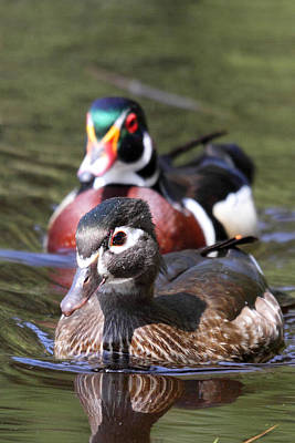 Wood Ducks At Beaver Lake Stanley Park Vancouver Canada Poster by Pierre Leclerc Photography