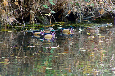 Wood Ducks In Autumn Poster by Sean Griffin