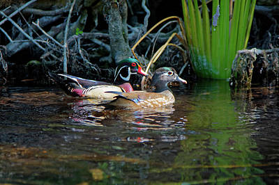 Wood Ducks Pair Poster by Sally Weigand