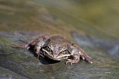 Poster featuring the photograph Wood Frog Close Up by Christina Rollo