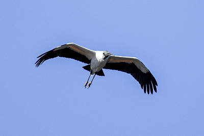 Wood Stork Poster by Gary Wightman