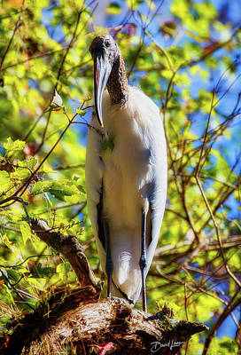 Poster featuring the photograph Wood Stork Stare by David A Lane