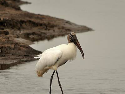 Wood Stork Walking Poster by Al Powell Photography USA