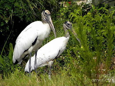 Poster featuring the photograph Woodstork Couple by Terri Mills