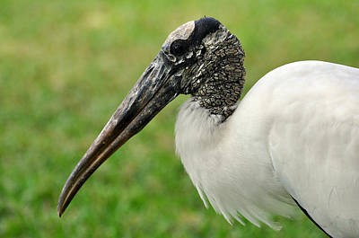Woodstork Poster by Rose  Hill