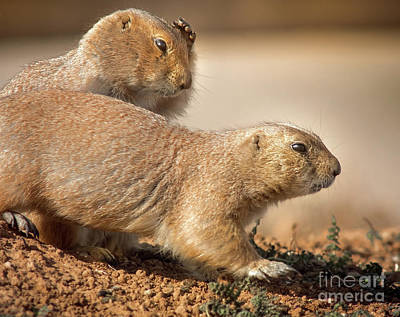 Poster featuring the photograph Worried Prairie Dog by Robert Frederick