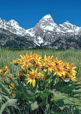 Wyethia In Grand Teton National Park Poster