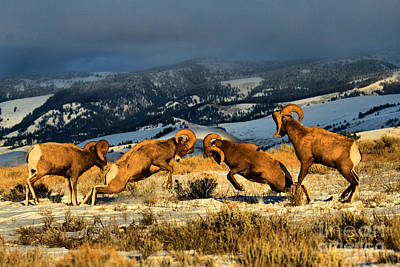 Poster featuring the photograph Wyoming Bighorn Brawl by Adam Jewell