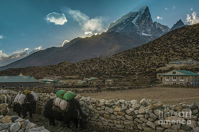 Poster featuring the photograph Yaks Moving Through Dingboche by Mike Reid