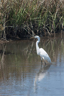 Poster featuring the photograph Yawkey Wildlife Refuge - Great White Egret II by Suzanne Gaff