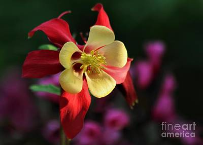 Yellow And Red Columbine Poster by Kenny Glotfelty