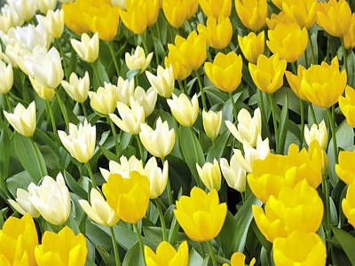 Yellow And White Tulips Poster