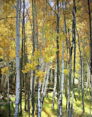 Yellow Aspens Poster