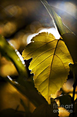 Yellow Autumn Leaf Poster by Ray Laskowitz - Printscapes