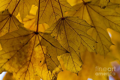 Yellow Autumn Leaves Poster by Alissa Beth Photography