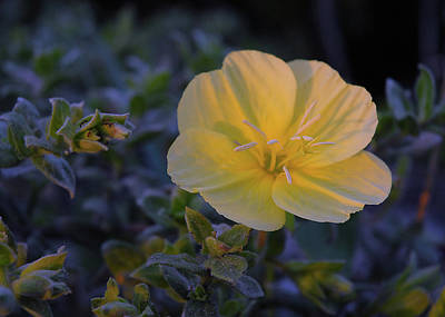 Poster featuring the photograph Yellow Beach Evening Primrose by Marie Hicks