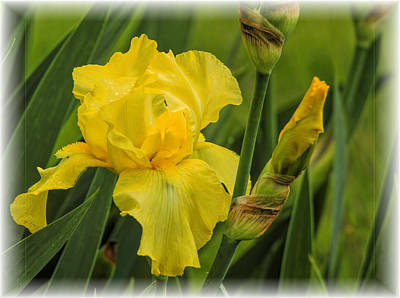 Yellow Bearded Iris Poster by Geraldine Scull