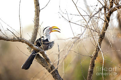 Yellow-billed Hornbill Sitting In A Tree.  Poster