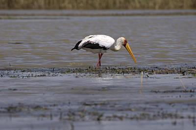 Yellow Billed Stork, Great Rift Lakes, Ethiopia Poster by Aidan Moran