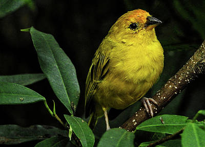 Poster featuring the photograph Yellow Bird by Pradeep Raja Prints