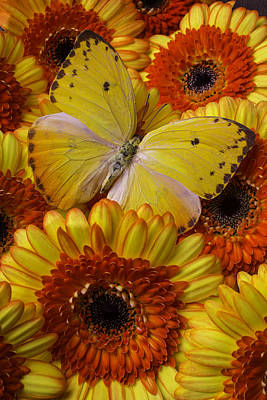 Yellow Butterfly Among Gerberas Poster
