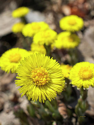Poster featuring the photograph Yellow Coltsfoot Flowers by Christina Rollo