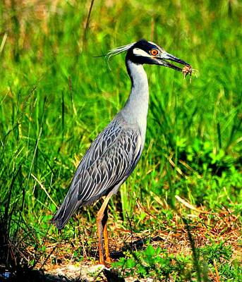 Poster featuring the photograph Yellow Crested Night Heron Catches A Fiddler Crab by Barbara Bowen