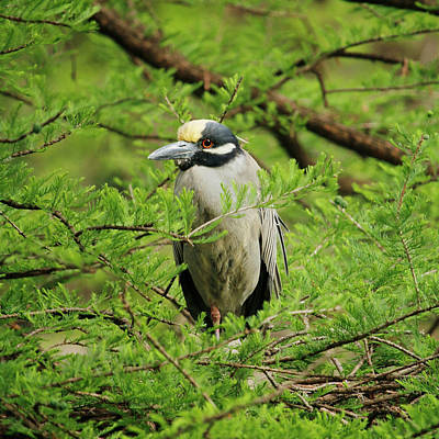 Yellow-crowned Night Heron Poster by Art Block Collections