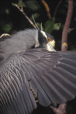 Yellow Crowned Night Heron Poster